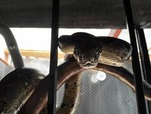 Close up boa imperator constrictor in cage. royalty free stock images