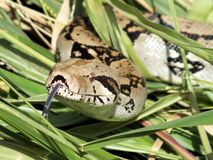 Boa constrictor close up Royalty Free Stock Images