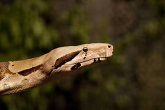 Boa Constrictor Close up Stock Photography
