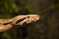 Boa Constrictor Close up royalty free stock photo