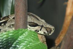 Boa constrictor 2 del boa constrictor fotografia stock libera da diritti