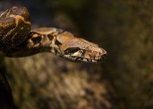 Boa constrictor del boa constrictor fotografia stock libera da diritti