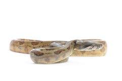 Boa constrictor dell'isola del maiale immagini stock
