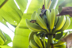 Boa constrictor dentro il banano Fotografia Stock Libera da Diritti