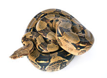 Boa constrictor. In front of white background stock photography