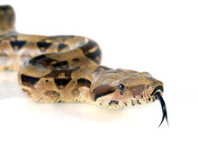 Boa constrictor Stock Images