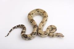 Boa constrictor getrennt auf weißem Hintergrund stockfotos