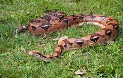 Boa Constrictor On Grass Royalty Free Stock Image