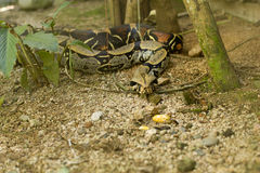 Boa Constrictor in plants Royalty Free Stock Photography