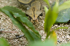 Boa Constrictor in plants. Boa Constrictor in green plants royalty free stock photos