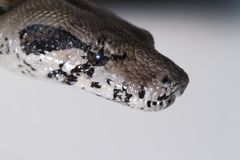 Boa constrictor head Royalty Free Stock Photography