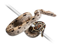 Boa constrictor imperator. Against white background Royalty Free Stock Photo