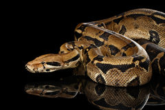 Boa constrictor imperator color, on isolated black background. Attack Boa constrictor snake imperator color, on isolated black background with reflection Stock Image