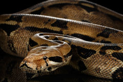 Boa constrictor imperator color, on isolated black background. Big Boa constrictor snake imperator color,lying on isolated black background with reflection stock photos