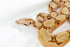 Boa constrictor imperator salmon. Exotic animals in the human environment. Snake isolated on a white background royalty free stock photos