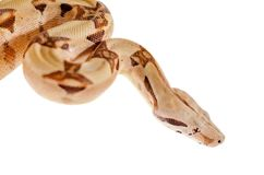 Boa constrictor imperator salmon. Exotic animals in the human environment. Snake isolated on a white background royalty free stock images
