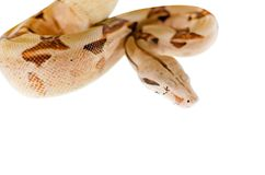 Boa constrictor imperator salmon. Exotic animals in the human environment. Snake isolated on a white background royalty free stock image
