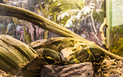 Boa constrictor imperator. Imperator boa in the terrarium. Home boa in a special cage behind the glass. Snake in the terrarium. Big boa constrictor on the royalty free stock image