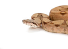 Boa constrictor isolated on white royalty free stock images
