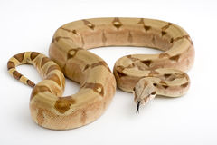 Boa Constrictor isolated on white background Royalty Free Stock Photos