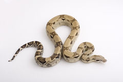 Boa Constrictor isolated on white background Stock Photos