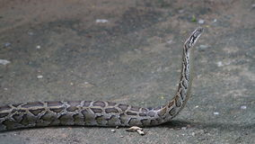Boa Constrictor stock video footage
