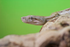 Boa constrictor reptile snake close up macro portrait. On green blurred background Stock Photos