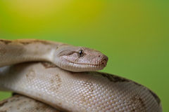 Boa constrictor reptile snake close up macro portrait. On green blurred background Royalty Free Stock Photo