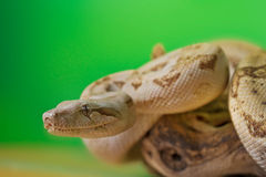 Boa constrictor reptile snake close up macro portrait. On green blurred background Stock Photo