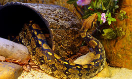Boa Constrictor. Restless boa constrictor snake inside its enclosure royalty free stock photo