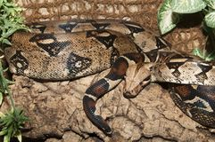 Boa Constrictor Snake Royalty Free Stock Photos