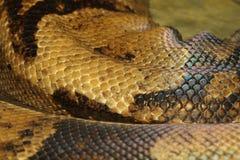 Boa constrictor snake skin Stock Photography