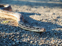 Boa constrictor Royalty Free Stock Image