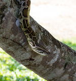 Boa constrictor snake Stock Images