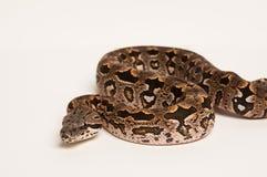 Boa constrictor su bianco immagine stock