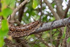 Boa ( Boa constrictor) su un recinto immagine stock