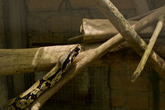 Boa Constrictor sunlight and shade Royalty Free Stock Images