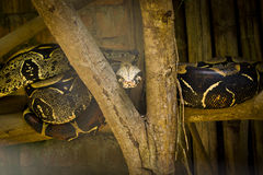 Boa Constrictor sunlight and shade Royalty Free Stock Image