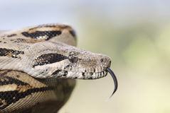 Boa Constrictor with tongue flick Stock Images