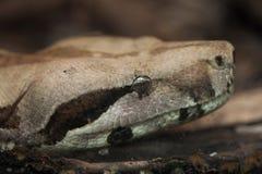 Boa constrictor (Boa constrictor). Royalty Free Stock Photos