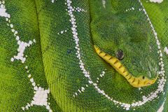 Boa för amasonhandfatträd/Corallus batesi Arkivbild