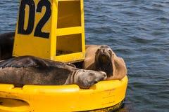 Boa gialla con i leoni marini in Ensenada, Messico immagine stock