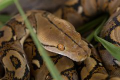 Boa portrait, Boa constrictor snake on tree branch Royalty Free Stock Photography