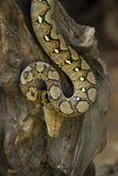 Boa portrait, Boa constrictor snake on tree branch Stock Photos