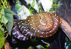 Boa python snake vertebrate scaly tropics. Strangulation victim color scales are viviparous royalty free stock images