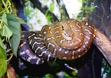 Boa python snake vertebrate scaly tropics Royalty Free Stock Images