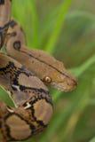 Boa-Schlange im Gras, Boa- constrictorschlange auf Baumast stockfoto