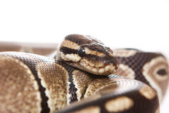 Boa snake Royalty Free Stock Image
