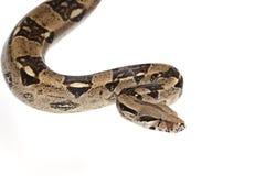 Boa snake. Boa Constrictor snake in studio isolated on white background stock photos