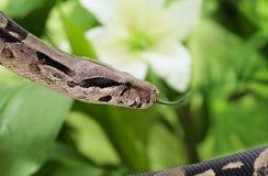 Boa snake closeup Stock Images